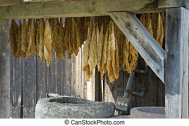 drying tobacco leaves - old-fashioned drying of tobacco...
