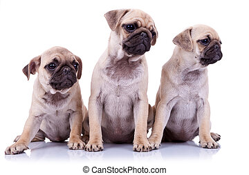 three seated pug puppy dogs