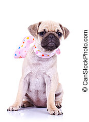 pug puppy dog with a pink scarf - portrait of a pug puppy...
