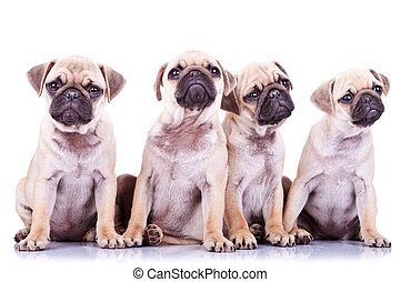 four precious pug puppy dogs sitting on a white background...