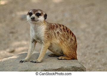 suricata - small sweet suricata in the danger desert