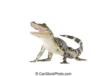 American alligator alligator mississipiensis isolated on...
