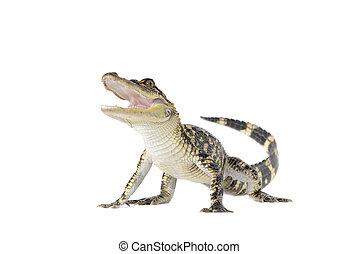 americano, jacaré, (alligator, mississipiensis),...
