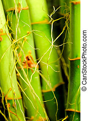 Roots of lucky bamboo