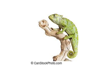 Graceful Chameleon on white background.