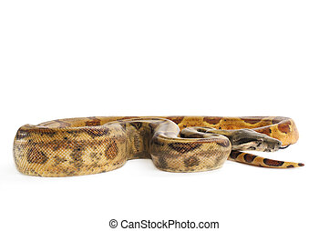 Hog Island Boa Constrictor with tongue out on white...