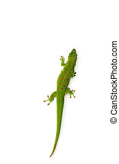 Madagascar Day Gecko on white background