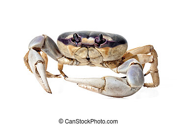 Moon Crab on white background.