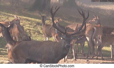 red deer rutting season