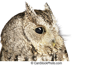 Screech Owl on white background.