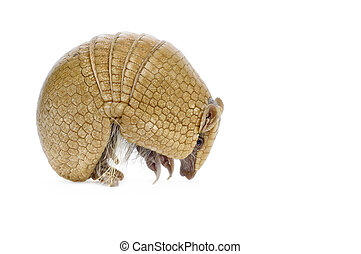 Three Banded Armadillo - Three banded armadillo on white...