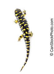 tigrinum), aislado, salamandra, (ambystoma, tigre, Plano de...