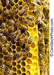 macro,  honeycells, trabajando, abeja