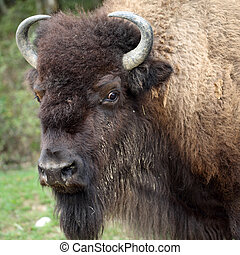American bison - details of an american bison in captivity