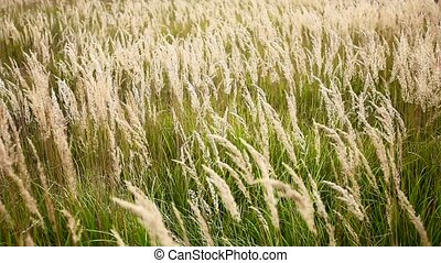 Prairie grass swaying in the wind