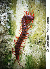 Giant centipede - This is Ethmostigmus rubripes, the giant...