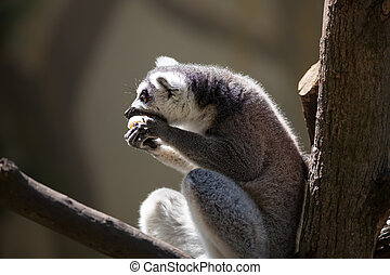 Lemur catta (ring tailed lemur)
