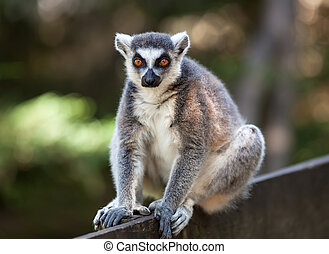 Lemur catta - Portrait of lemur catta (ring tailed lemur)