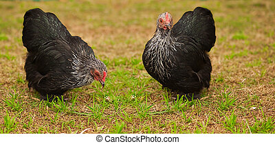 Live Animals free range chicken bantam hens organic egg...