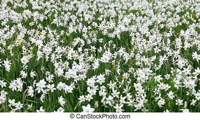 Wild white daffodils bloom on a meadow