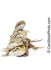Baby Bearded Dragons on white background.