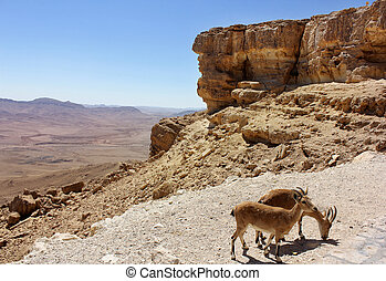 pair of mountain goats on the slopes of the crater Makhtesh...