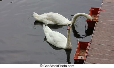 swan feeding on lake