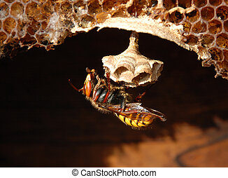 Hornet (Vespa crabro) at a nest. - It large (to 3,5 see)...