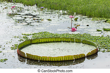 Victoria waterlily lotus blossoms or water lily flowers...