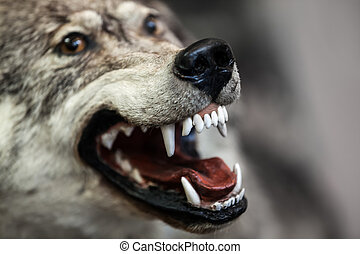 Wild gray wolf animal - Wild dangerous gray wolf animal...