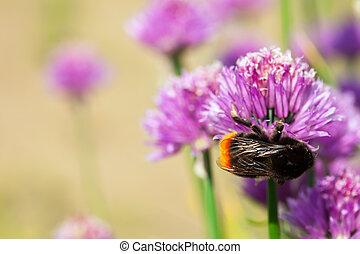 Allium  plant with bee
