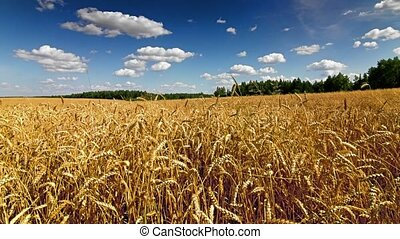 Wheat field time lapse