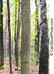 aspen and birch trunks in autumn forest