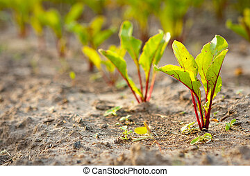 Beetroot - Young beet sprouts on a bed, shallow DOF.