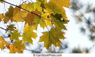Maple in October - Yellowed maple leafs in October