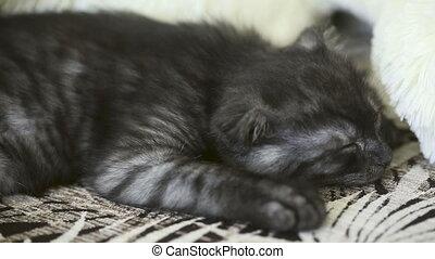 Sleeping kitten. - Sleeping Scottish Fold kitten.