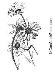 camomile - Sketch of  camomile