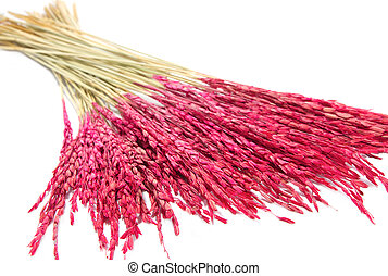 close up pink paddy rice, Dry flower decoration on white...