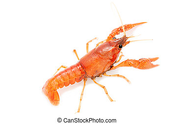 alive crayfish isolated on white background