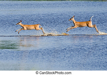 Two Startled Deer Running and Leaping Through the Water