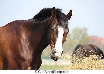 Bay horse eating dry hay - Beautiful bay latvian breed horse...
