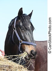 Black horse eating hay - Black horse eating dry hay