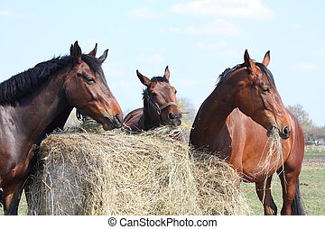 Horse herd eating hay - Horse herd eating dry hay