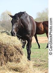 Black horse eating hay - Black horse eating dry hay
