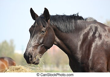 Black horse eating hay - Portrait of black horse eating dry...