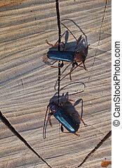 Longhorn beatle - Macro image of a Longhorn Beetle