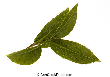 fresh tea leaves - tea branch isolated on the white...