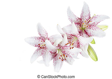White lillies isolated on white background