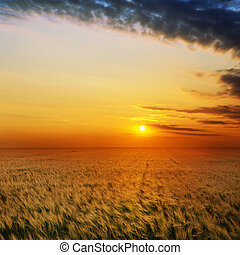 golden sunset over field with barley