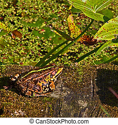 Brown frog - Frog brown with a green stripe on the back sits...